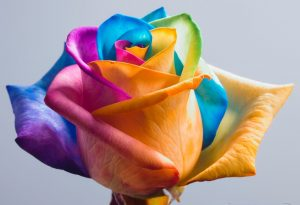 Happy_Roses_Rainbow_Rose_II_by_HappyRoses